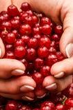 Пригорошня зрелой красной смородины Натуральные продукты стоковое изображение rf