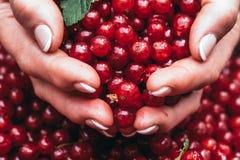 Пригорошня зрелой красной смородины ягоды свежие стоковая фотография rf