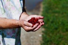 Пригорошня зрелых вишен в ладони ваша рука Стоковое Фото