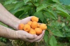 Пригорошня как раз выбранных абрикосов стоковые фотографии rf