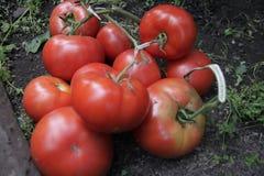 Пригорошня красных томатов стоковая фотография rf