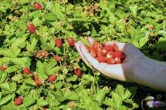 Пригорошня красных ягод клубники в руке стоковое фото rf