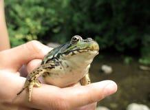 пригорошня лягушки Стоковые Фотографии RF