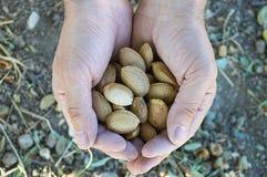 Пригорошня миндалин хороша для здоровья, естественных миндалин, сухих семян миндалины стоковая фотография