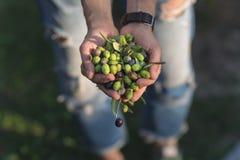 Пригорошня оливок, Taggiasca или Cailletier, сорт растения, который выросли главным образом в южной Франции около славного и в Ри стоковое изображение