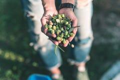 Пригорошня оливок, Taggiasca или Cailletier, сорт растения, который выросли главным образом в южной Франции около славного и в Ри стоковые изображения rf