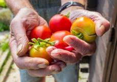 Пригорошня доморощенных томатов Стоковая Фотография