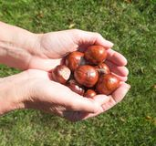 Пригорошня плодов конского каштана Стоковая Фотография