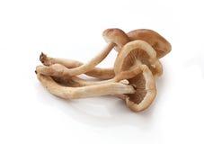 Пригорошня пластинчатого гриба меда Стоковые Фото
