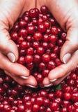 Пригорошня свеже выбранных кислых красных ягод Органический десерт стоковые фото
