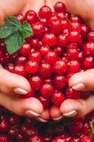 Пригорошня свеже выбранных ягод красной смородины Органический десерт стоковая фотография rf