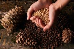 Пригорошня стерженей гаек сосны и конусов сосны кедра стоковое фото rf