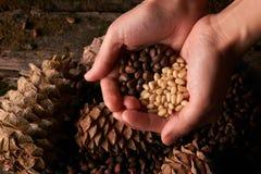 Пригорошня стерженей гаек сосны и конусов сосны кедра стоковое изображение