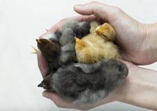 Пригорошня цыпленоков стоковое изображение rf