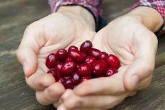 Пригорошня ягод кизила стоковое изображение