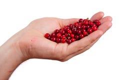 Пригорошня cowberries Стоковое Изображение