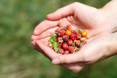 Пригорошня wildberries стоковые изображения rf