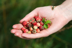 Пригорошня wildberries стоковое изображение