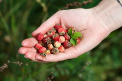 Пригорошня wildberries стоковое фото rf