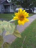 Пригород солнцецвета Стоковые Фото