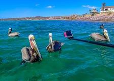 Придурковатые пеликаны плавая на море смотрят камеру стоковое фото