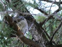 Приемные родители общей кукушки ювенильные (canorus Cuculus) ждать Стоковые Фото