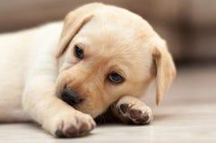 Прижимаясь щенок Лабрадора Стоковая Фотография