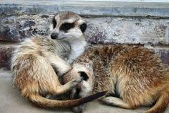 прижимаясь meerkats Стоковая Фотография