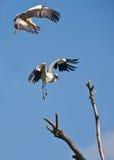 Приземляться аистов Стоковая Фотография RF