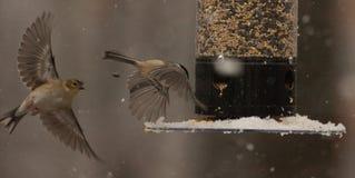 Приземляться в снег--Одичалые птицы Стоковое Изображение RF