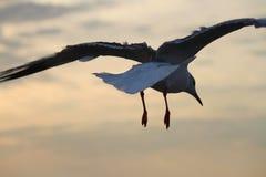 Приземляться от белой чайки с заходом солнца и небом Стоковая Фотография RF