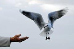 Призрачная чайка моря Стоковые Фотографии RF