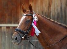 Приз-выигрывая лошадь на выставке Стоковое фото RF