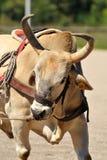 приз Колумбии быка bogota Стоковая Фотография RF