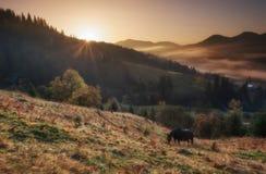 прикарпатский взгляд сверху гор Солнце рассвета, лошади пасет на холмах в тумане Стоковое фото RF