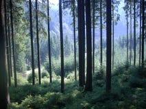 Прикарпатский лес прикарпатский Стоковое Изображение