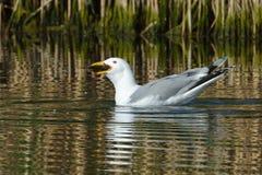 Прикаспийская чайка & x28; Cachinnans& x29 Larus; Стоковая Фотография RF