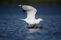 Прикаспийская чайка, cachinnans Larus Стоковое Фото