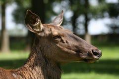 прикаспийский красный цвет оленей Стоковое Изображение