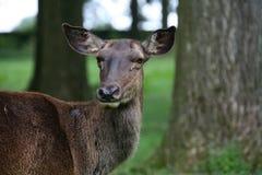 прикаспийский красный цвет оленей Стоковая Фотография