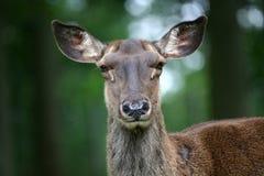 прикаспийский красный цвет оленей Стоковые Изображения RF
