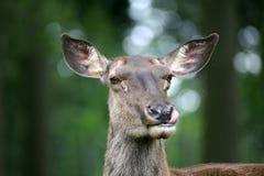 прикаспийский красный цвет оленей Стоковые Фотографии RF