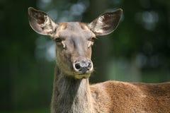 прикаспийский красный цвет оленей Стоковые Изображения
