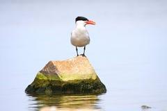 прикаспийский tern Стоковые Фото