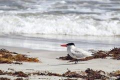 Прикаспийский Tern (caspia Hydroprogne) Стоковые Фотографии RF