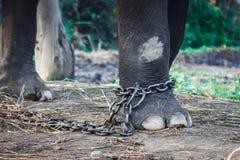 Прикованный слон на национальном парке Chitwan, Непал стоковые фото