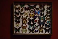 Приколотые бабочки в коробке Естественная история стоковое фото rf