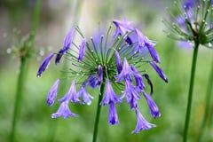 прикрепленный agapanthus цветок бутона цветет лето которое Стоковые Изображения