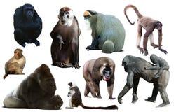 Приматы изолированные на белизне стоковое изображение rf