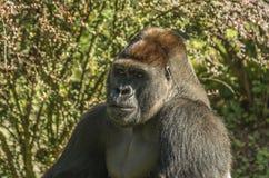 Примат гориллы Стоковая Фотография